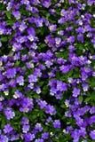Tot bloei gekomen Violet Flowers met groen flard royalty-vrije stock afbeelding