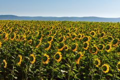 Tot bloei komend gebied van zonnebloemen stock afbeeldingen