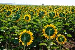 Tot bloei komend gebied van zonnebloemen stock foto's