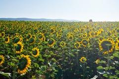 Tot bloei komend gebied van zonnebloemen royalty-vrije stock afbeelding
