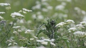 Tot bloei komend gras op een de zomerweide De zomerlandschap - bont gras op een weide in een de zomerdag stock videobeelden