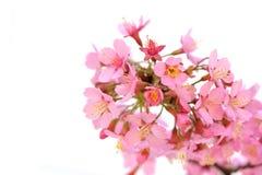 Tot bloei komend takje op witte achtergrond Stock Afbeeldingen