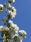Tot bloei komend takje van Apple-Boom op achtergrond van blauwe hemel royalty-vrije stock fotografie