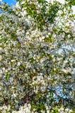 Tot bloei komende abrikozenboom stock foto