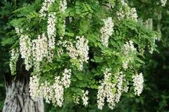 Tot bloei komende acacia Het symbool van de wil aan het leven en wedergeboorte royalty-vrije stock fotografie