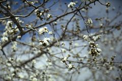 Tot bloei komende amandelboom stock foto's