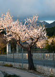 Tot bloei komende amandelboom royalty-vrije stock afbeeldingen