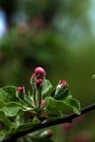 Tot bloei komende appel De tuin van de lente Royalty-vrije Stock Afbeeldingen