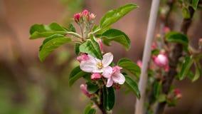 Tot bloei komende appelbloemen op boom in de lentetuin stock afbeeldingen