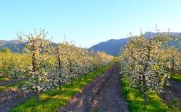 Tot bloei komende appelbomen Stock Foto