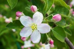 Tot bloei komende appelboom Stock Fotografie