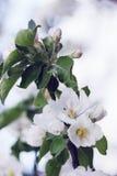 Tot bloei komende appelboom royalty-vrije stock foto's
