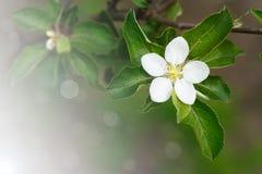 Tot bloei komende appelboom Stock Afbeelding
