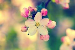 Tot bloei komende appelboom Royalty-vrije Stock Afbeeldingen