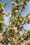 Tot bloei komende appelboom Stock Foto