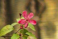 Tot bloei komende appelboom Bloeiende de appelboom van de tak decoratieve wilde Royalty met rode bloemen Royalty-vrije Stock Afbeeldingen