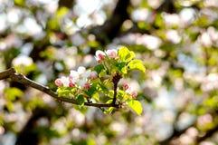 Tot bloei komende appelboom in boomgaard, de lentethema Stock Foto's