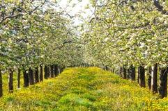 Tot bloei komende appelboom in boomgaard, de lentethema Royalty-vrije Stock Afbeeldingen