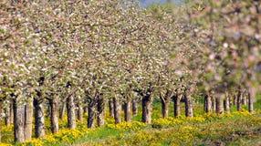 Tot bloei komende appelboom in boomgaard, de lentethema Royalty-vrije Stock Afbeelding