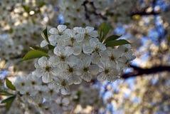 Tot bloei komende appelboom in de lente royalty-vrije stock foto's