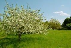 Tot bloei komende appelboom in een tuin Stock Fotografie