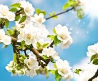 Tot bloei komende appelboom met witte bloemen Royalty-vrije Stock Fotografie