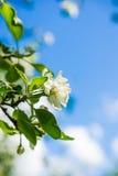 Tot bloei komende appelboom onder de blauwe hemel Stock Fotografie