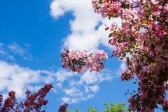 Tot bloei komende appelboom onder de blauwe hemel Royalty-vrije Stock Foto