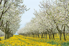 Tot bloei komende appelboomgaard Stock Afbeelding