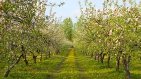 Tot bloei komende appelboomgaard Stock Foto
