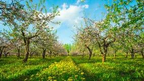 Tot bloei komende appelboomgaard, tijd-tijdspanne met kraan stock footage