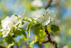 Tot bloei komende appeltak in de de lentetuin selectieve die nadrukmacro met ondiepe DOF wordt geschoten Royalty-vrije Stock Foto's
