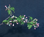 Tot bloei komende appeltak in de vroege lente Stock Fotografie