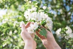 Tot bloei komende appeltak in vrouwen` s handen Royalty-vrije Stock Fotografie
