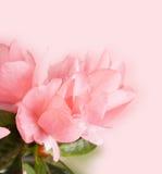 Tot bloei komende azalea Royalty-vrije Stock Afbeeldingen