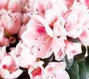 Tot bloei komende azalea Stock Foto's