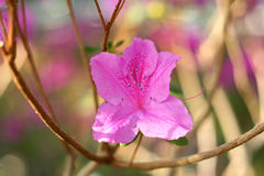 Tot bloei komende azalea Royalty-vrije Stock Fotografie