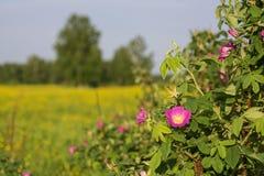 Tot bloei komende bloem van een dogrose Stock Foto's