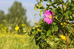 Tot bloei komende bloem van een dogrose Stock Foto