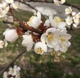 Tot bloei komende bloemen van abrikoos, seizoengebonden bloemenaardachtergrond element voor ontwerp stock afbeeldingen