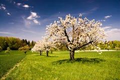 Tot bloei komende bomen in de lente in landelijk landschap stock foto's