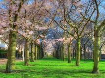 Tot bloei komende bomen in een park Stock Foto