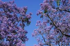 Tot bloei komende Bomen Jacaranda Stock Afbeeldingen