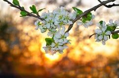Tot bloei komende bomen op achtergrond van een zonsondergang in de lente Stock Foto
