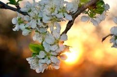 Tot bloei komende bomen op achtergrond van een zonsondergang in de lente Royalty-vrije Stock Fotografie