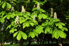 Tot bloei komende bomen van kastanje in een park stock foto