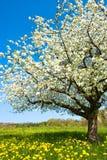 Tot bloei komende boom in de lente Royalty-vrije Stock Foto