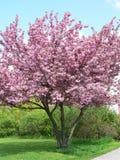 Tot bloei komende boom in de lente Royalty-vrije Stock Fotografie