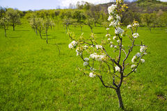 Tot bloei komende boom in de lente Royalty-vrije Stock Afbeelding