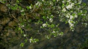 tot bloei komende boom, de lente stock videobeelden